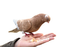 Pigeon on hand biting crumb loaf isolated. World Bird brown, red, white Royalty Free Stock Photography