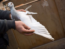 Pigeon in Hand. Man holding grey pigeon in his hands and showing its beautiful and healthy wing stock photos