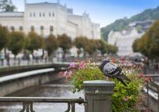 Pigeon on a handrail, Tepla river.  Karlovy Vary Carlsbad .  Czech Republic Royalty Free Stock Photos