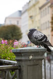 Pigeon on a handrail, Tepla river.  Karlovy Vary Carlsbad .  Czech Republic Royalty Free Stock Image