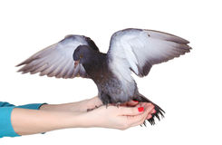 Pigeon in hands Royalty Free Stock Image