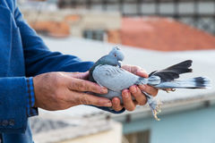 Pigeon in the hands of breeders Royalty Free Stock Photography