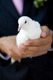 Pigeon in hands of a man Royalty Free Stock Image