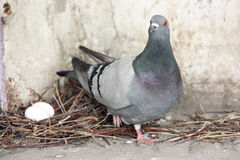 Pigeon hatch eggs in the nest Stock Image