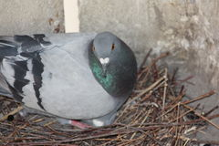 Pigeon hatch eggs in the nest Royalty Free Stock Image