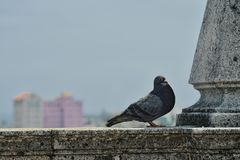 Pigeon in Havana royalty free stock photo