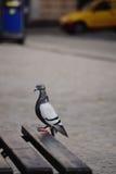 Pigeon having nice time sinbathing Stock Photography