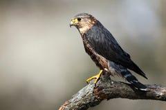Pigeon Hawk Royalty Free Stock Photos