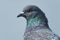 Pigeon head Stock Images