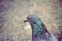 Pigeon head close up. Pigeon head close up in the city stock photography