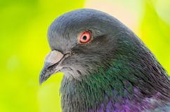 Pigeon head closeup on a blurred background. Gorgeous wild dove close-up. Selective focus. Soft focus royalty free stock photos