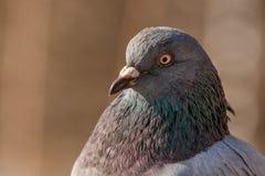 Pigeon head detail closeup Royalty Free Stock Photos