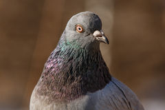 Pigeon head detail closeup Stock Photography