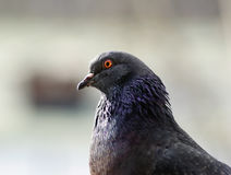 Pigeon head and neck Stock Images