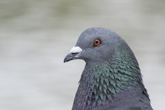 A pigeon head and neck shot stock photos