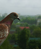 Pigeon is hiding from rain. Pigeon is hiding from the rain Royalty Free Stock Photos