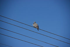 Pigeon on High Voltage Wires. Pigeon Sits on Wires with Blue Sky Behind Royalty Free Stock Image