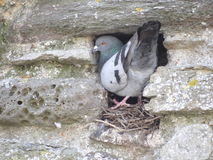 Pigeon. On his nest in a hole Royalty Free Stock Photo