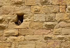 Pigeon in a hole in an ancient wall. Of the medieval city of Carcassonne Stock Photography