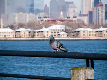 Pigeon on the Hudson Royalty Free Stock Images