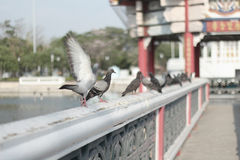 Pigeon. When I will take a photo, The pigeon will fly away from me Stock Photo