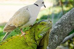 Pigeon and iguana Royalty Free Stock Photos