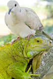 Pigeon and iguana stock image