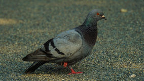 Pigeon II. Pigeon resting at nearby shrine in Japan royalty free stock photography