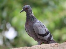 Pigeon images | single bird stock photos