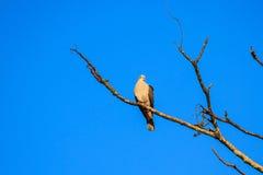 Pigeon impérial de montagne photo libre de droits