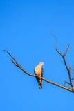 Pigeon impérial de montagne images stock