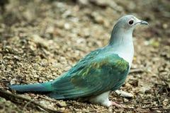 Pigeon impérial de montagne image libre de droits