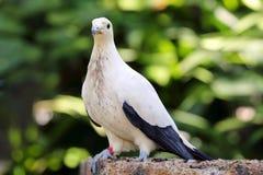 Pigeon impérial pie photos stock