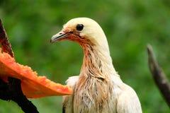 Pigeon impérial pie Image stock
