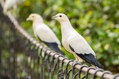 Pigeon impérial pie photo libre de droits
