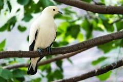 Pigeon impérial pie australien Photos libres de droits