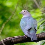 Pigeon impérial vert Image stock