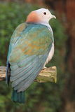 Pigeon impérial vert images libres de droits