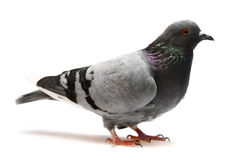 Pigeon, isolated on white Royalty Free Stock Photo