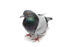 Pigeon, isolated on white Royalty Free Stock Images