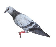 Pigeon isolated Royalty Free Stock Photo