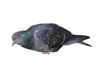 Pigeon isolated on white Stock Image