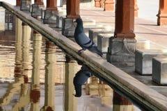 Pigeon at Jama Masjid, Ahmedabad Stock Image