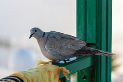 Pigeon jaune canari Image libre de droits