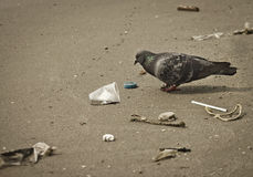 Pigeon and junk Royalty Free Stock Photos