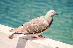 Pigeon Kentish Plover Water Bird Royalty Free Stock Photos