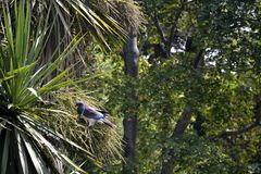 Pigeon Kerera on the cabbage tree stock photography