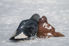 Pigeon kiss Stock Image