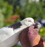 Pigeon kisses another pigeon Royalty Free Stock Image