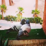 Pigeon love stock images
